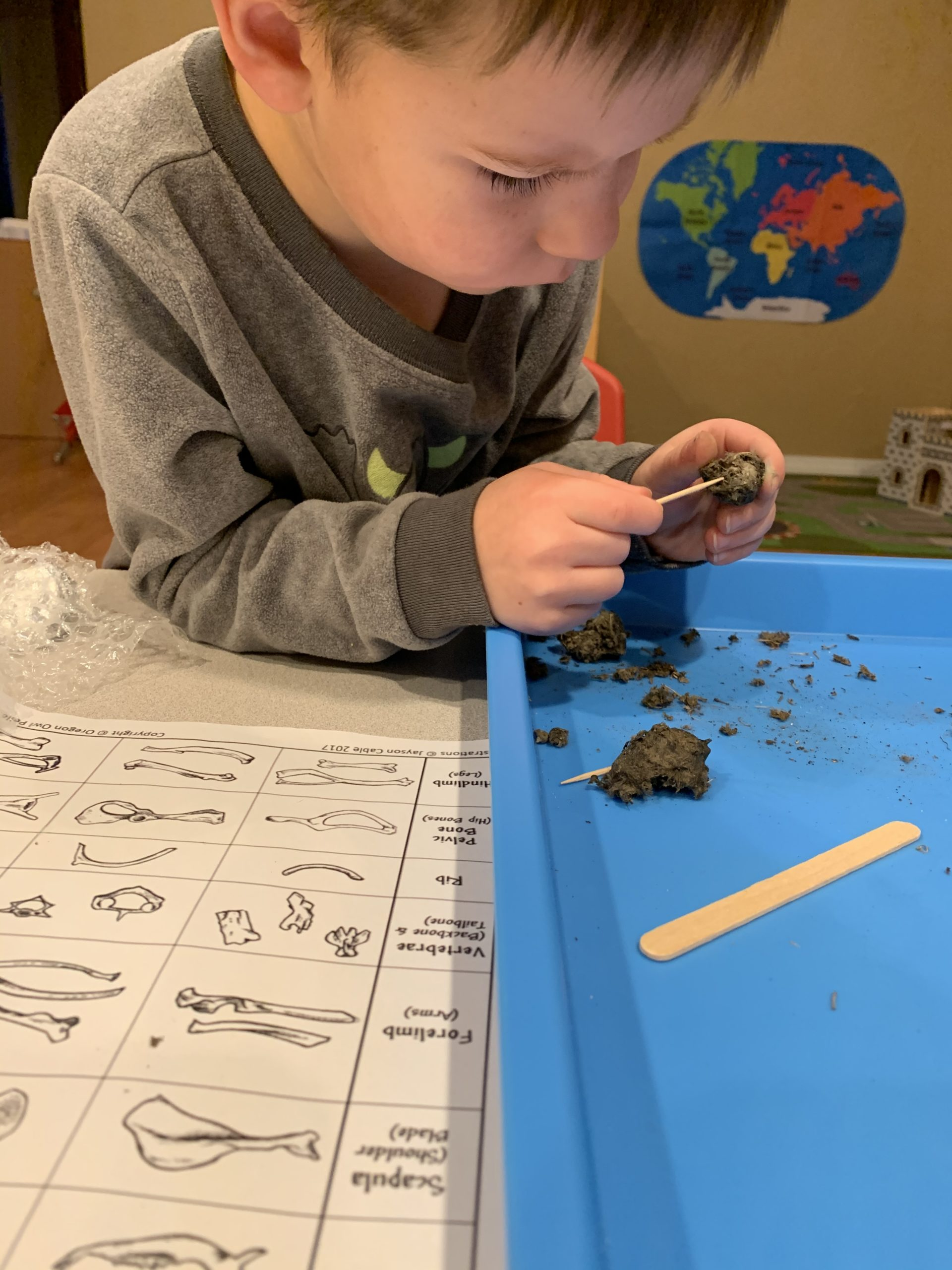 A child dissects an owl pellet to identify food sources
